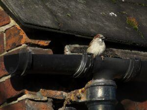 House Sparrow at nest