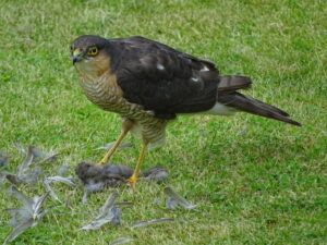 Sparrowhawk with garden kill