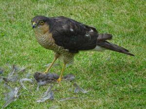 Sparrowhawk with garden kill