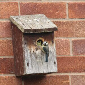 Blue Tit at nest box