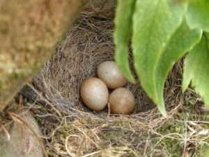 Robin's nest in a rockery