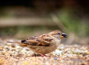 Female House Sparrow eating sunflower seed