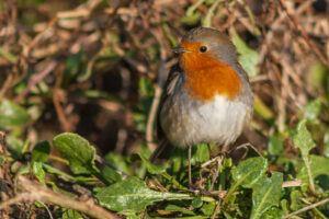Adult Robin