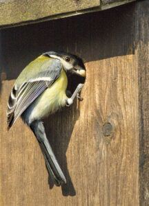 Great Tit at nest box