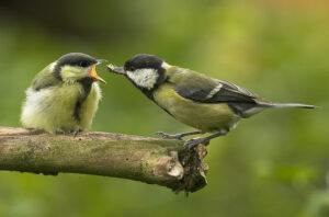 Adult Great Tit feeding chick