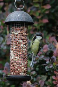 Great Tit on peanut feeder