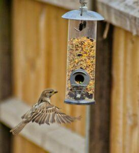 House Sparrow at seed feeder